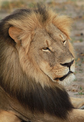 Cecil - in a thoughtful mood (paulafrenchp) Tags: