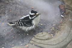 202/365/3124 (December 30, 2016) - Downy Woodpecker (Saline, Michigan) - December 29 & 30, 2016 (cseeman) Tags: downywoodpecker woodpecker suet feeder birds saline michigan backyard suetfeeder winter downy12302016 ice frozen 2016project365coreys yearnineproject365coreys project365 p365cs122016 356project2016