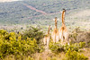 Les Dames de la contemplation. (Nona P.) Tags: green wild wildlife nature sauvage animal animals afriquedusud liberté freedom canon nonap girafe giraffe