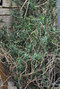 Aloe ciliaris Haw. - BG Berlin-002 (Ruud de Block) Tags: berlinbotanicalgarden ruuddeblock asparagaceae taxonomy:binominal=aloeciliaris aloeciliaris