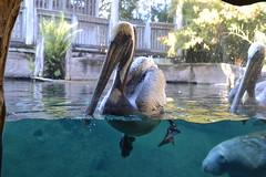 Photobomb Level - Manatee (s.kosoris) Tags: skosoris nikond3100 d3100 nikon tampa tampazoo animal manatee mammal bird