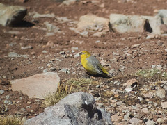 Bright-rumped Yellow-finch (Baractus) Tags: brightrumped yellowfinch yellow marcapomacochas finch john oates peru