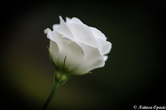 Not All Those Who Wander Are Lost (_Natasa_) Tags: flower blossom rose white green whiterose petals bokeh closeup dof depthoffield nature art emotions natasaopacic natasaopacicphotography canon canoneos7d canonef100mmf28lmacroisusm