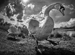 Best foot forward (bainebiker) Tags: swans monochrome birds nature wilflife wormseyeview canonef15mmf28fisheye milkingnook lincolnshire uk