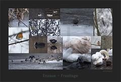 KUSA-4742 (Weinstöckle) Tags: enz pforzheim winter eis schnee rotkehlchen wasseramsel gänsesäger blesshuhn schwan schwanzmeise stockente kormoran teichhuhn wasservogel singvogel buchfink erlenzeisig zaunkönig