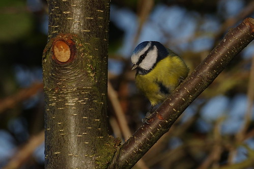 IMGP2451 Blue Tit, Fen Drayton Lakes, December 2016