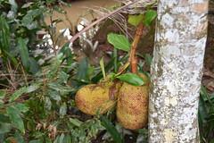 Juvenile Jackfruit on a tree in the Mekong Delta (shankar s.) Tags: southeastasia seasia vietnam saigon hochiminhcity hcm southvietnam cantho mekongdeltavietnam mekongdelta đồngbằngsôngcửulong ninedragonriverdelta westernregion miềntây southwesternregion tâynambộ riversystem mekongriver inlandwaterway inlandnavigation turtleislandmekongdeltavietnam tourists mekonglocalresident ethnicvietnamese vietnameseman freshfruit tropicalfruit fruitorchard jackfruit moraceae artocarpusheterophyllus diningarea tourist