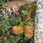 Juvenile Jackfruit on a tree in the Mekong Delta thumbnail