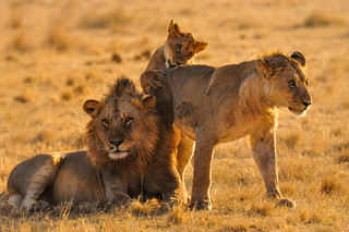 Lion Siblings, Serengeti National Park, Tanzania