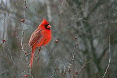Male Cardinal in Winterberry (beaucon) Tags: male cardinal red baltimore county maryland