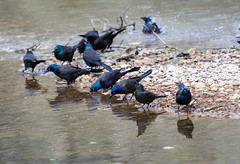 at the water's edge together (long.fanger) Tags: bathing commongrackle drining grackle water