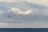 Snowy Skies (Bonnie Ott) Tags: snowgeese blackwaternationalwildliferefuge