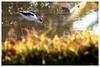 黑翅長腳鷸 Black-winged Stilt (Alice 2018) Tags: nature hongkong 2017 canonef300mmf4lisusm canoneos7d eos7d canon 300mm wetland water winter bird bokeh favorites50 autofocus aatvl01 1000v40f 1000views 2000views aatvl02 3000views aatvl03 3000v120f concordians favorites150 aatvl04