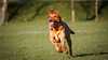On the run (NeilSkinner01) Tags: dog labrador running golden orange park walk athletic