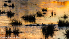 """reflected sunset or """"on golden pond"""" (RCB4J) Tags: ayrshire landscape rcb4j ronniebarron scotland sonyslta77v sonydt18250mmf3563 art countryside photography"""