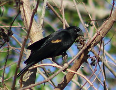 red-winged blackbird (Agelaius phoeniceus (im2fast4u2c) Tags: redwinged blackbird agelaius phoeniceus