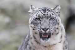 Snow Leopard Smile (Eric Kilby) Tags: stone zoo cat bigcat snow leopard closeup portrait