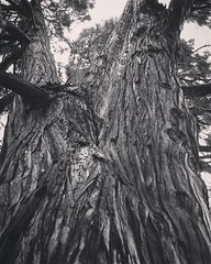 Cedar Tree One of the few cedar trees in the neighborhood. This one is quite old and quite large and a good subject for photos. #cedar #tree #trees #nature #outdoors #tree_magic #LA #losangeles #california #ig_losangeles #wheream_I_LA #insta_losangeles #c (dewelch) Tags: ifttt instagram cedar tree one few trees neighborhood this is quite old large good subject for photos nature outdoors treemagic la losangeles california iglosangeles whereamila instalosangeles caligrammers lagrammers losangelesgrammers discoverla conquerla unlimitedlosangeles californiacaptures uglagrammers blackandwhite blackandwhitephotography bnwdrama bnwlegit bnwcaptures gfbnw bnwmaster