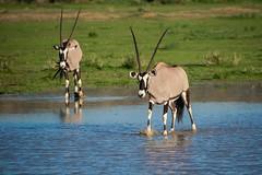 Oryx (fascinationwildlife) Tags: animal mammal wild wildlife nature natur oryx antelope spiesbock puddle water desert kalahari kgalagadi safari national park transfrontier ktp summer südafrika