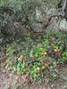 Invasive and good! Invasive in a good way. (Tim Kiser) Tags: 2015 20150701 bayarea california cityandcountyofsanfrancisco coastaltrail goldengate goldengatenationalrecreationarea img4476 indiancress july july2015 landsend sanfrancisco sanfranciscobayarea sanfranciscocalifornia tropaeolum tropaeolummajus flowers gardennasturtium invasiveplants invasivespecies monkscress nasturtium nationalrecreationarea northerncalifornia orangeflowers peltate peltateleaves wildflowers unitedstates