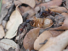 P1030907 (Dr Zoidberg) Tags: hormigas escarabajo zuiko50mmmacro