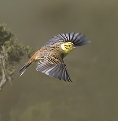 "yellowhammer ("" yer tis my ansome "") Tags: male nature birds wildlife flight devon moors dartmoor moorland yellowhammer grayclements"