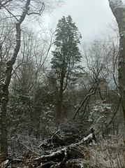 Atlantic White Cedar in Snow, Glassboro NJ (Redwood Reverence) Tags: beautiful beauty amazing woods glorious forests enchanted faries