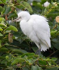 06-11-15-8198.jpg (Lake Worth) Tags: bird nature birds animal animals canon wings florida wildlife feathers wetlands everglades waterbirds southflorida 2xextender sigma120300f28dgoshsmsports