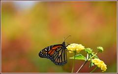 Yellow Lantana Lunch (tdlucas5000) Tags: flowers orange flower macro yellow butterfly bokeh monarch lantana creamy laarboretum