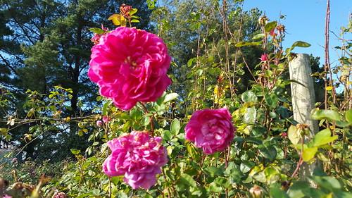 Roses looming overhead