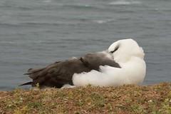 DSC_9350Wenkbrauwalbatros : Albatros a sourcils noirs : Diomedea melanophris : Schwarzbrauen-Albatros : Black-browed Albatross