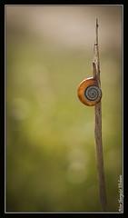 Atalaya (Aitor Ibargutxi Elizburu) Tags: naturaleza nature snail natura caracol faunaflora barraskiloa faunayflora