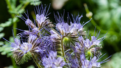 02082015125957_6542 (DoriPili) Tags: flowers macro bloemen wildebloemen