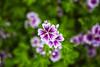 Purple white (Kansas Poetry (Patrick)) Tags: flowers summer flower kansas patrickemerson patricknancyhaveagreatday