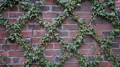 Pacific Heights Landscaping, tamIng the vine (Lynn Friedman) Tags: fav imagebrief 94118 brickwall diamondpattern vine landscaping