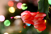 Coral Christmas cactus (jeansmootz) Tags: christmas cactus zygocactus coral flower closeup canon eos 6d