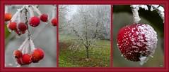 Pommes givrées (a.laruelle) Tags: pommes givré montage rouge