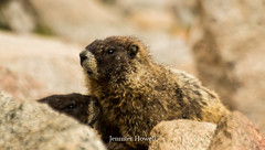 DSC_0002-2 (colojenn) Tags: colorado marmots wildlife mt evans