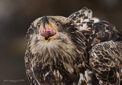 American Bald Eagle (Peter Bangayan) Tags: wild eagle bald raptors birds prey