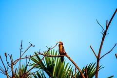 Little Cormorant (prashanthkumar2) Tags: rest tree bright nikond5100 photography lakeside india southindia kerala alleppey wildlife littlecormorant bird