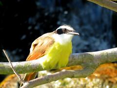 Great Kiskadee (South Padre Island BNC) (stinkenroboter) Tags: southpadreislandbirdingandnaturecenter texas greatkiskadee pitangussulphuratus bird