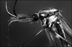 giant mozzie 1 bw 1b (GTV6FLETCH) Tags: spider macro macrophotography canon canoneos5dmark2 canonmpe65mm15xmacro canonmpe65 mpe65mm mpe65 mpe focusstack closeup manualfocus m