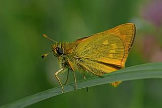 Ochlodes sylvanus - the Large Skipper (male)