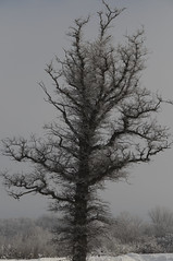 Frosted Tree (joeldinda) Tags: nikon d300 nikond300 2008 winter weather snow michigan eatoncounty statesecondarycomplex dimondale tree frost 0581 january onthisdate 3366