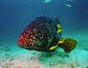 Boris is a Grouper (David Basiove) Tags: film 35mm grouper fish vanuatu santo espiritu