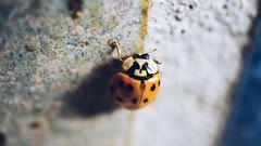 Beetle (sarahlovesthesun_photos) Tags: beetle nature macro macrophotography closeup käfer marienkäfer