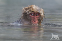 Monkey Bath (fascinationwildlife) Tags: animal mammal wild wildlife nature natur park monkey snow winter spring hot water japan japanese macaque affe schneeaffe mountain asia jigokudani