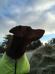 Frosty February - Red Male Dobermann Pinscher Zeus (firehouse.ie) Tags: german breed dogs dog canine k9 pinscher pinschers dobermans doberman dobermanns dobermann dobey dobeys dobies dobie dobes dobe male brown tan red zeus