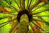 Treetop (Rollingstone1) Tags: datepalm palmtree bright colourful date tree spain pakistan arabia canaryislands puertodelacruz tenerife jardinbotanico plant nature flora fruit