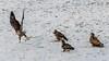 Eagles 1.7.17-20 (alan.forshee) Tags: bald eagles juvenile mature feeding playing tustling flight ice winter bird prey raptor beauty snow tree fish